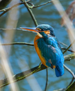 Kingfisher-photo-by-John-Cobham